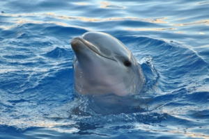 Dolphin Vibrator