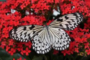 Schmetterlingsvibrator